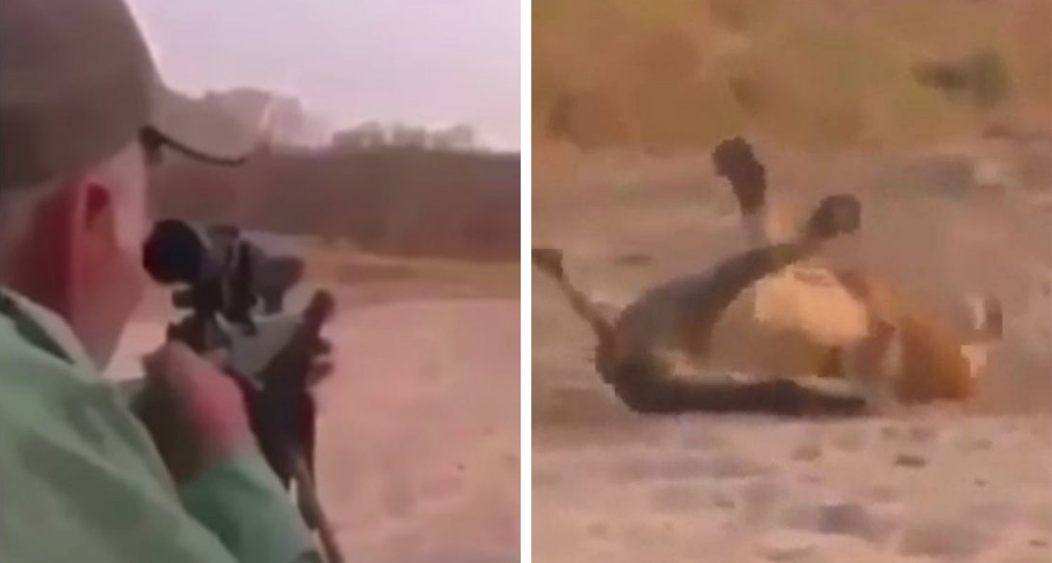 Hunter Creeps Up On Sleeping Lion, Shoots It, And Watches It Die In Agony