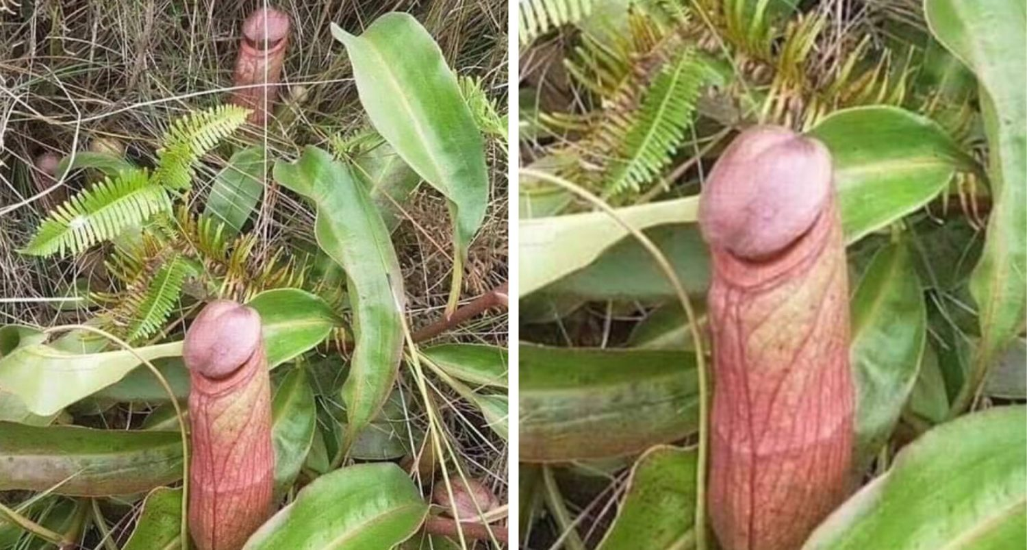 """Internet Discovers That A Phallic-looking """"penis Flytrap"""" Exists In Remote Forests"""