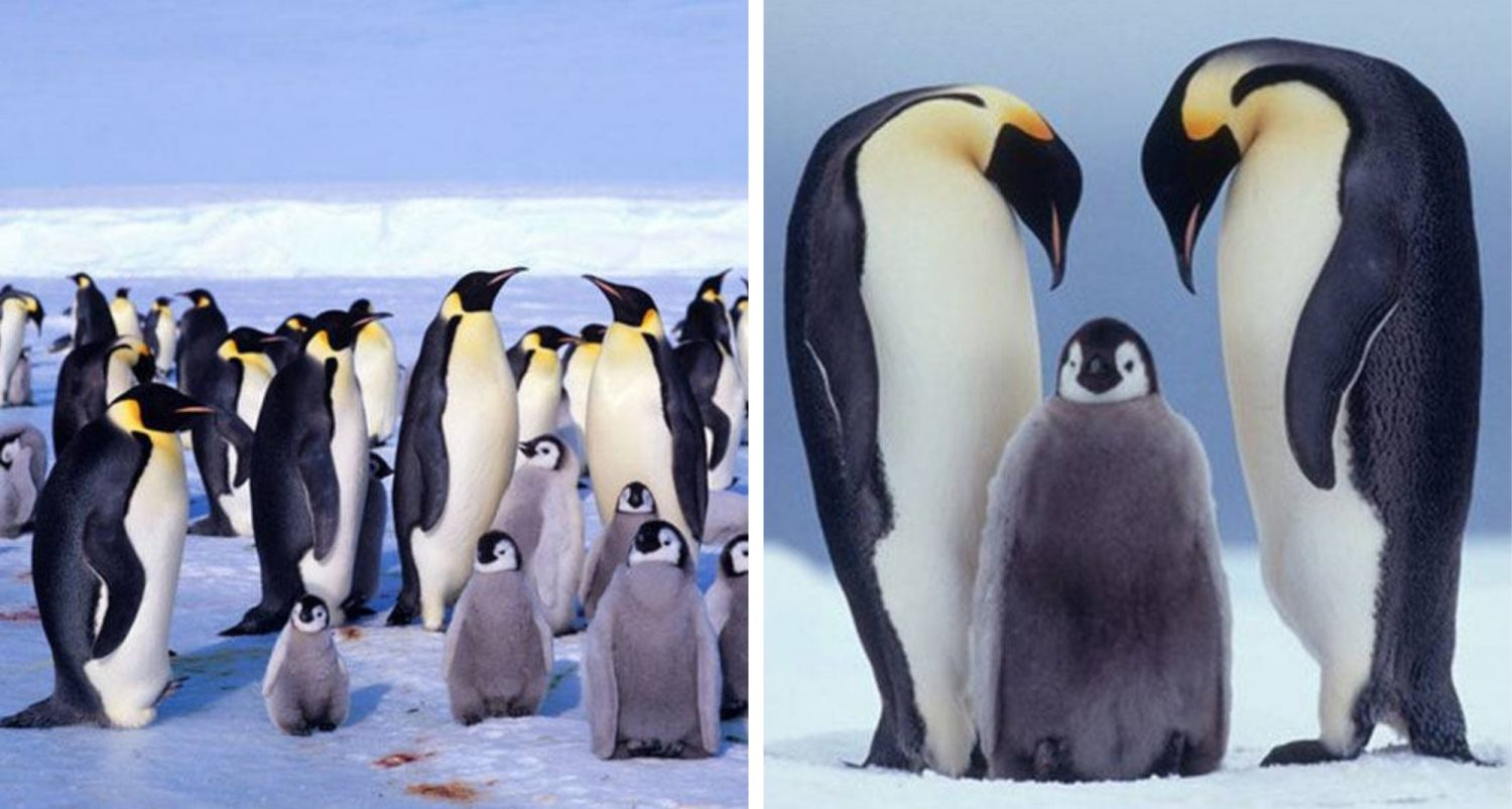 Antarctica's Second Largest Emperor Penguin Colony Has Disappeared