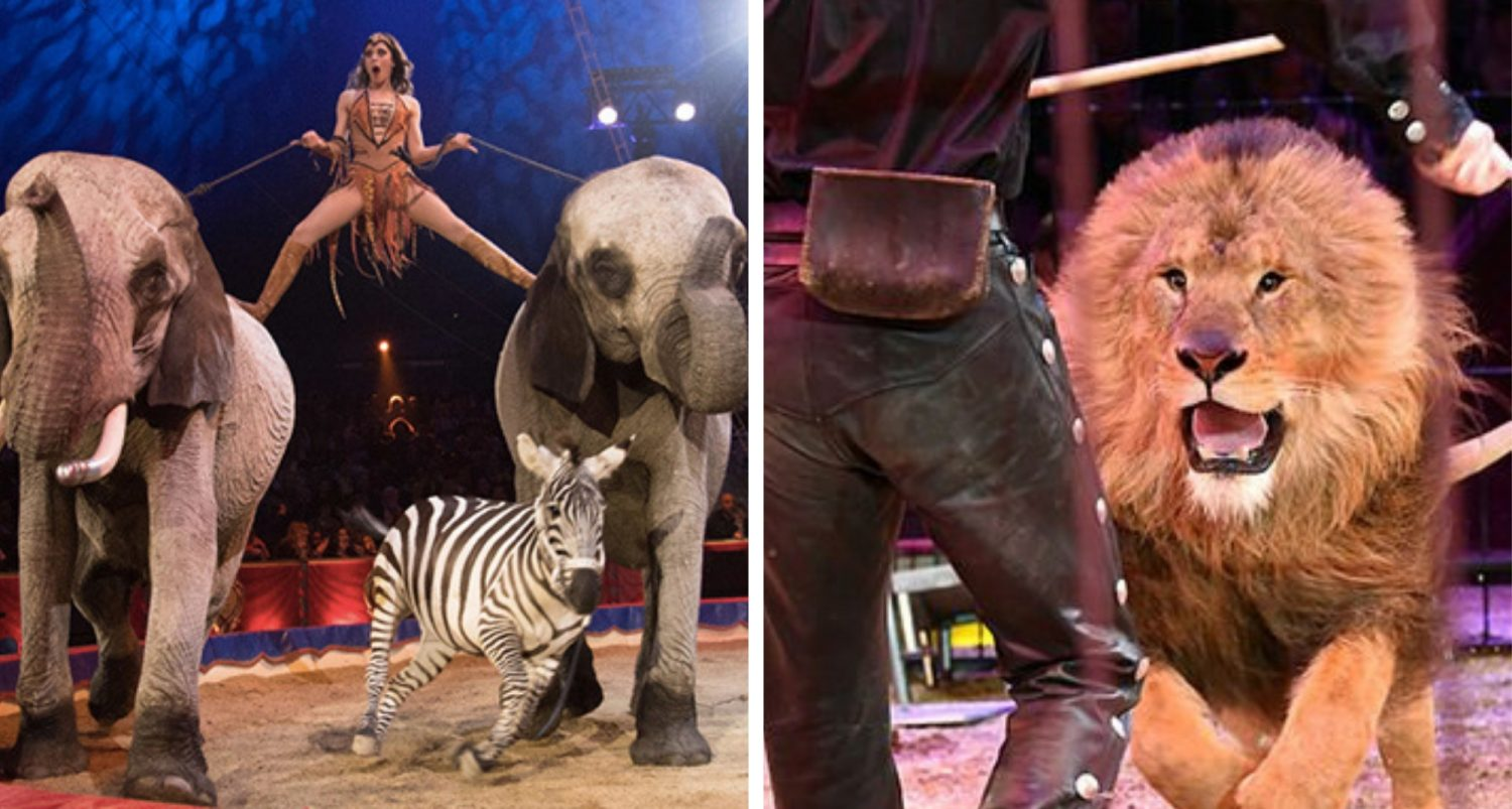 Circuses Banned From Making Wild Animals Perform In Uk