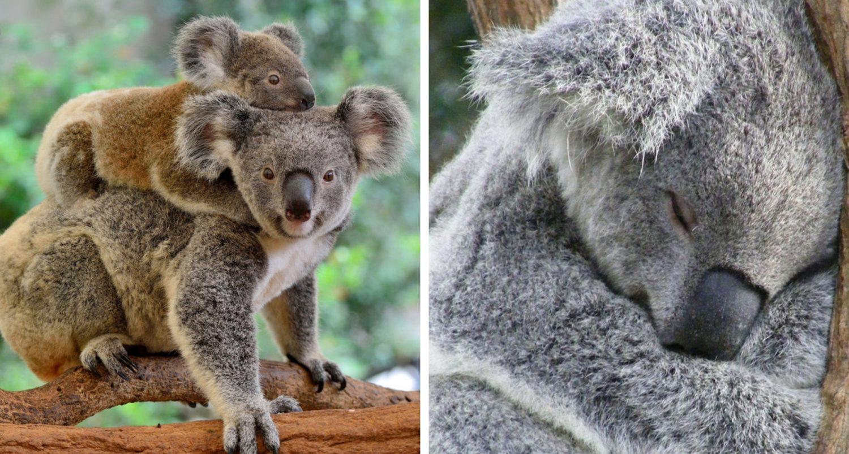 Koalas Are Now 'functionally' Extinct