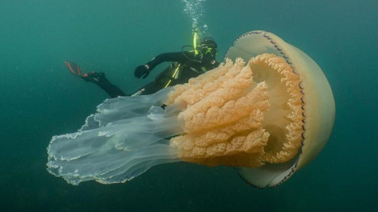 Diver Spots A Huge Jellyfish The Size Of A Human Off English Coast