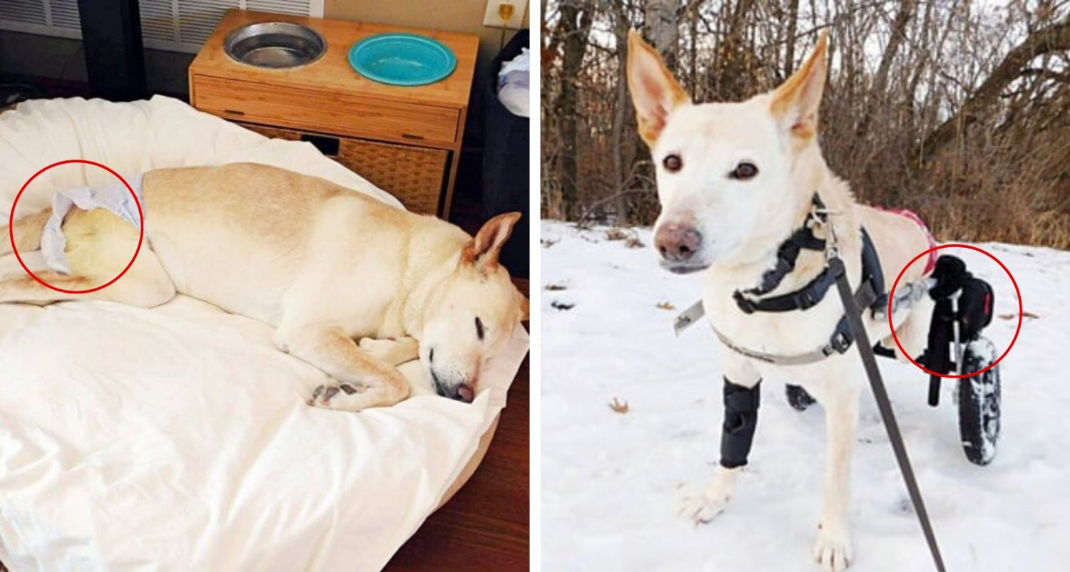 Wheelchair-bound Dog With Paralysis Left On A Street With Nothing But A Bag Of Diapers