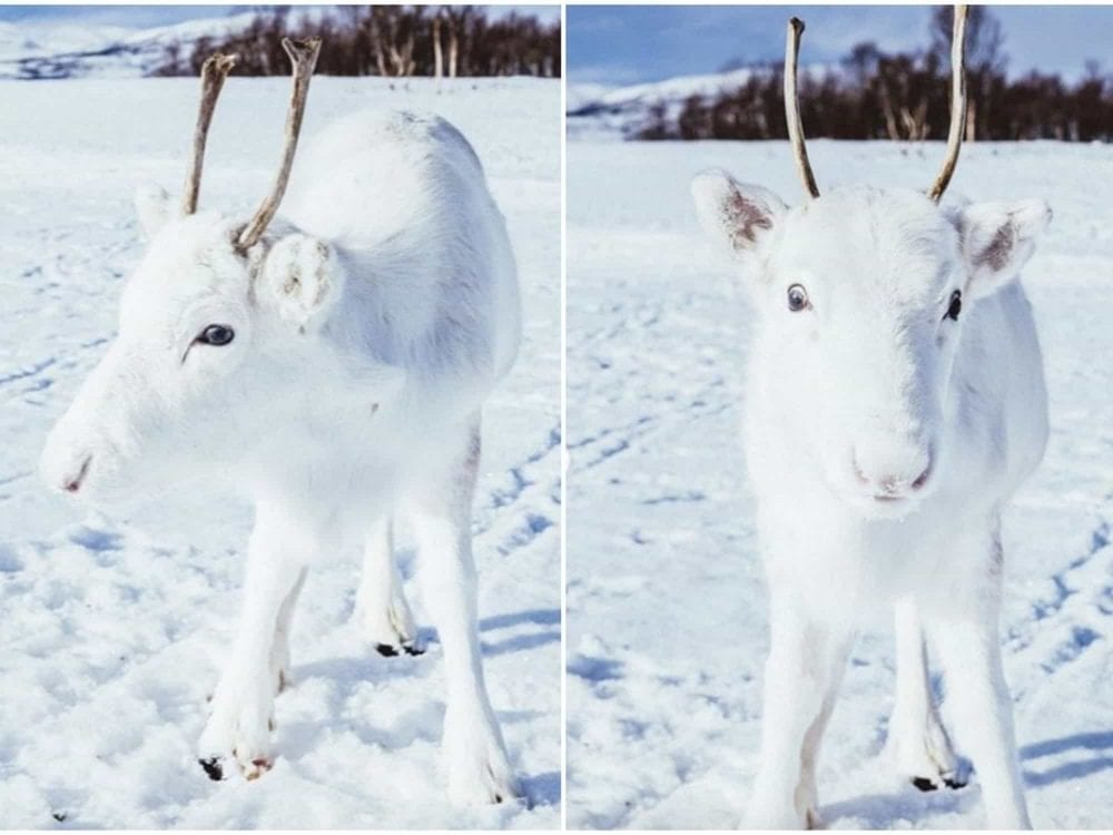 Rare White Reindeer Calf Poses In Snowy Norway