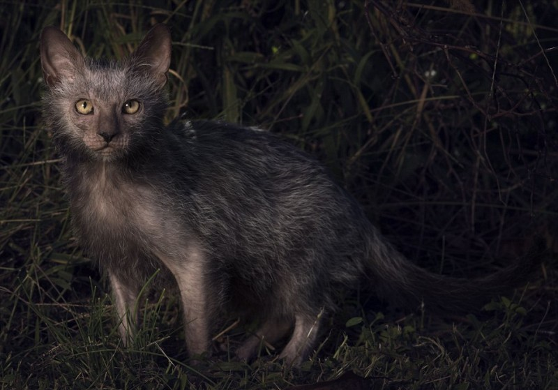 There's A Cute And Terrifying Breed Of 'werewolf Cats' That Act Like Dogs And Cost Up To $2,500