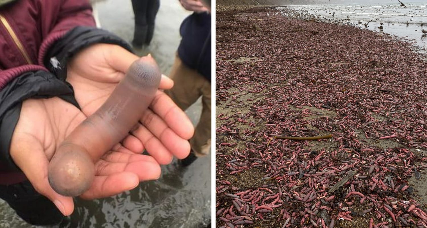 Thousands Of 'penis Fish' Washed Up On A Beach In California