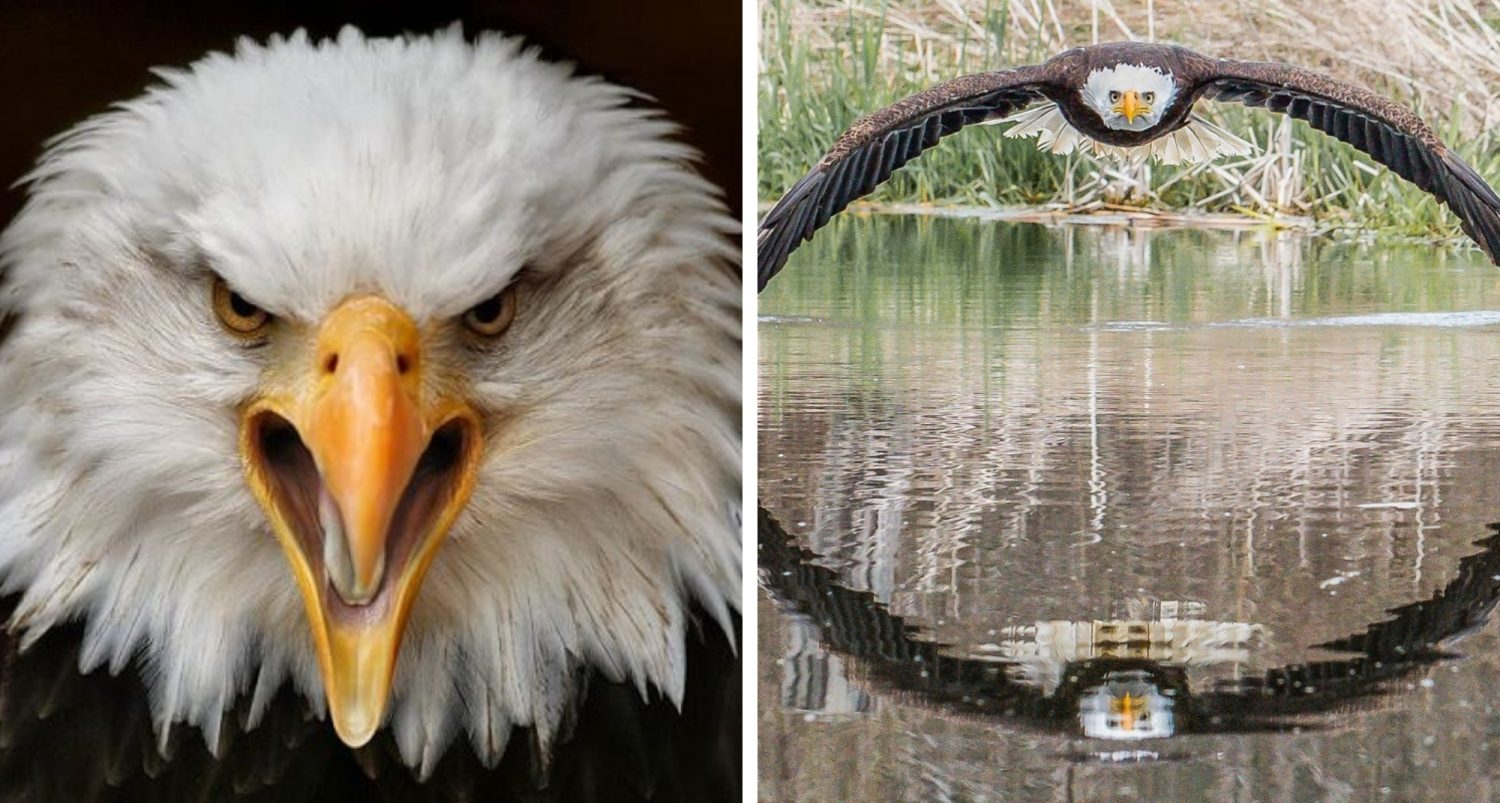 Photographer Captures The Perfect Shot Of Swooping Bald Eagle In Symmetrical Reflection