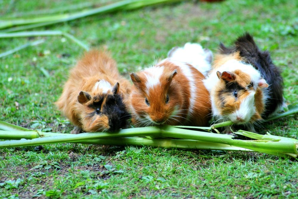 it's illegal to own single guinea pigs in switzerland: here's why