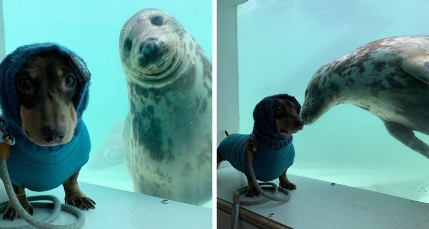 Sausage Dog Becomes Best Friends With Rescue Seal, And Their Photos Together Are Adorable