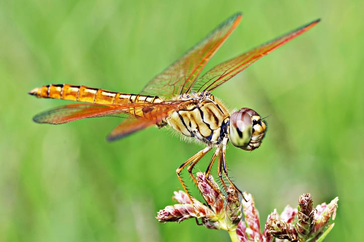 Female Dragonflies Pretend to be Dead to Avoid Male Attention!