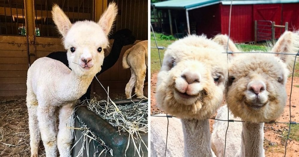 Pictures of Adorable Alpacas That Will Light Up Your Day