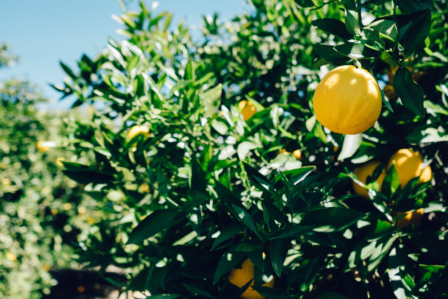 Plant Your Own Lemon Tree And You Will Not Have To Buy Lemons Ever Again. Here's How To Do It