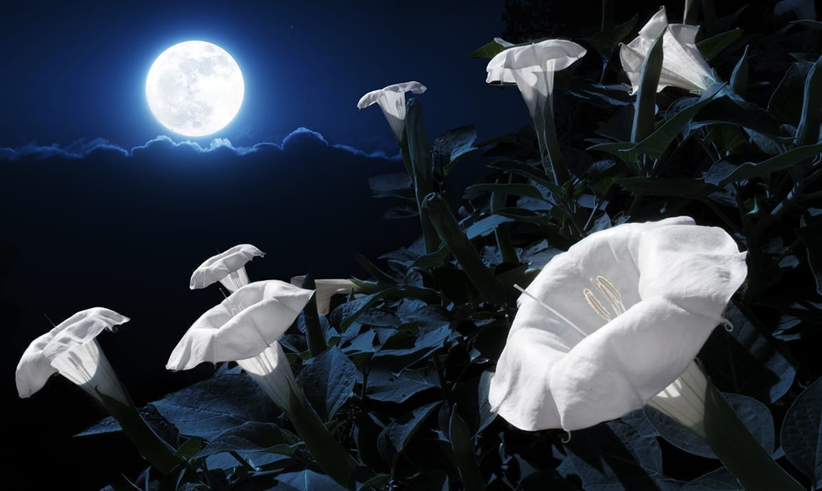 Plant Your Own Magical Moon Garden With Night-Blooming Flowers