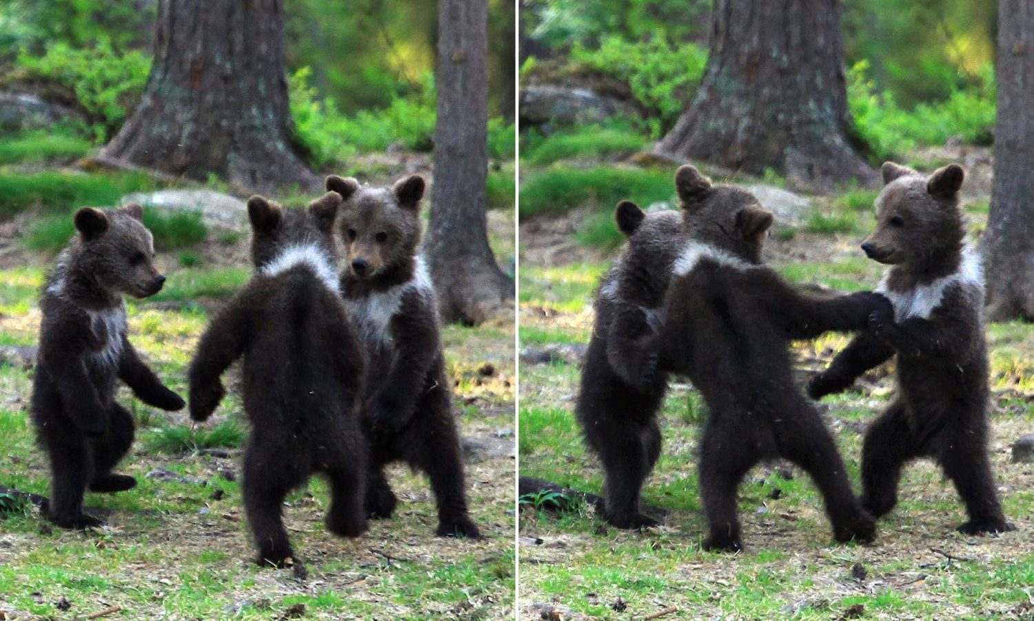teacher stumbles upon baby bears 'dancing' in finland forest, thinks he's imagining it