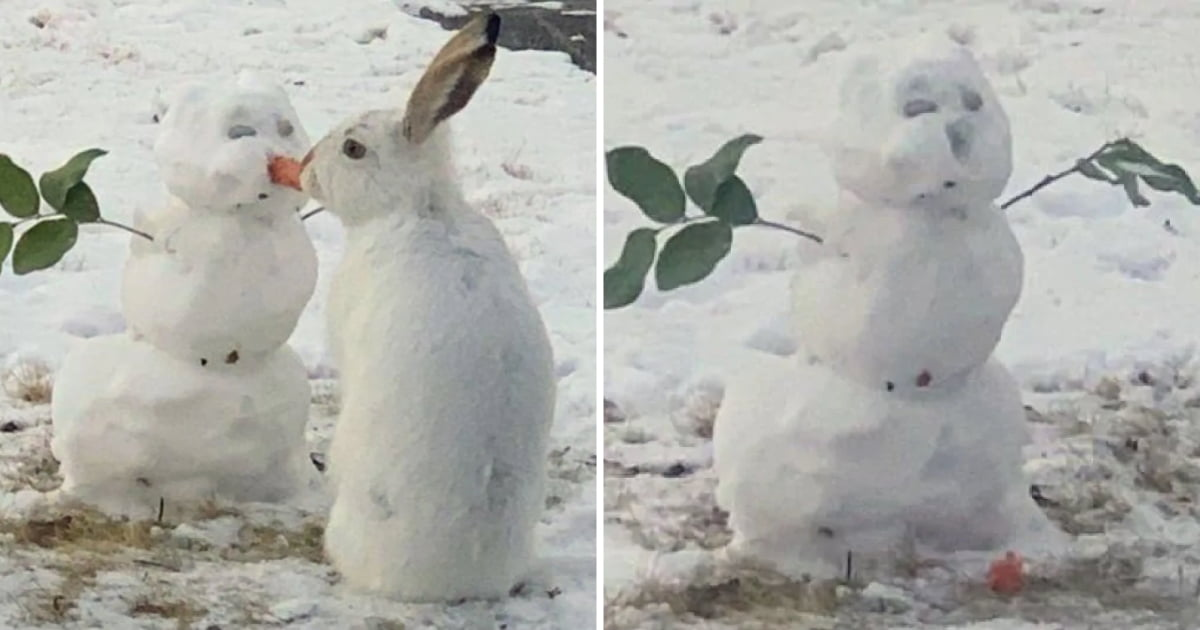 bunny filmed chomping snowman's carrot nose in canada
