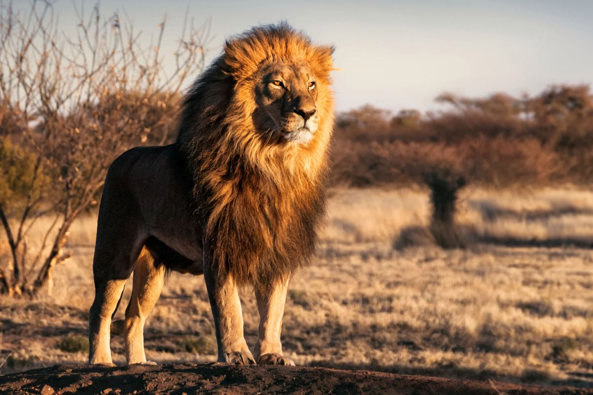 south african lions eat illegal poacher, leaving only his head