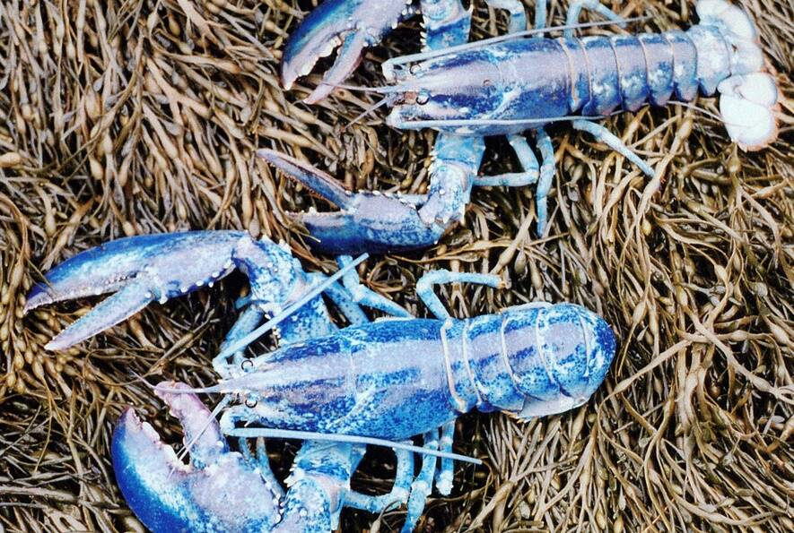 meet the one-in-two-million blue lobster and learn what causes its stunning hue