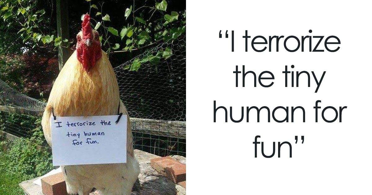 farmers are shaming their chickens for their 'crimes' and it's too entertaining to read