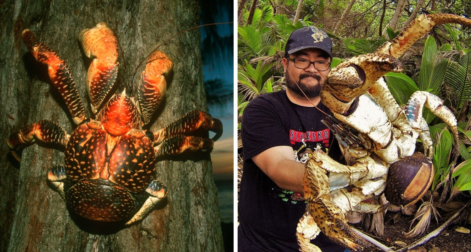 The Coconut Crab: The Horrifying Behemoth Of Tropical Islands