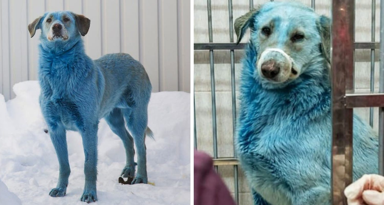 Stray Blue Dogs In Russia - A Strange Occurrence Observed Near An Abandoned Factory