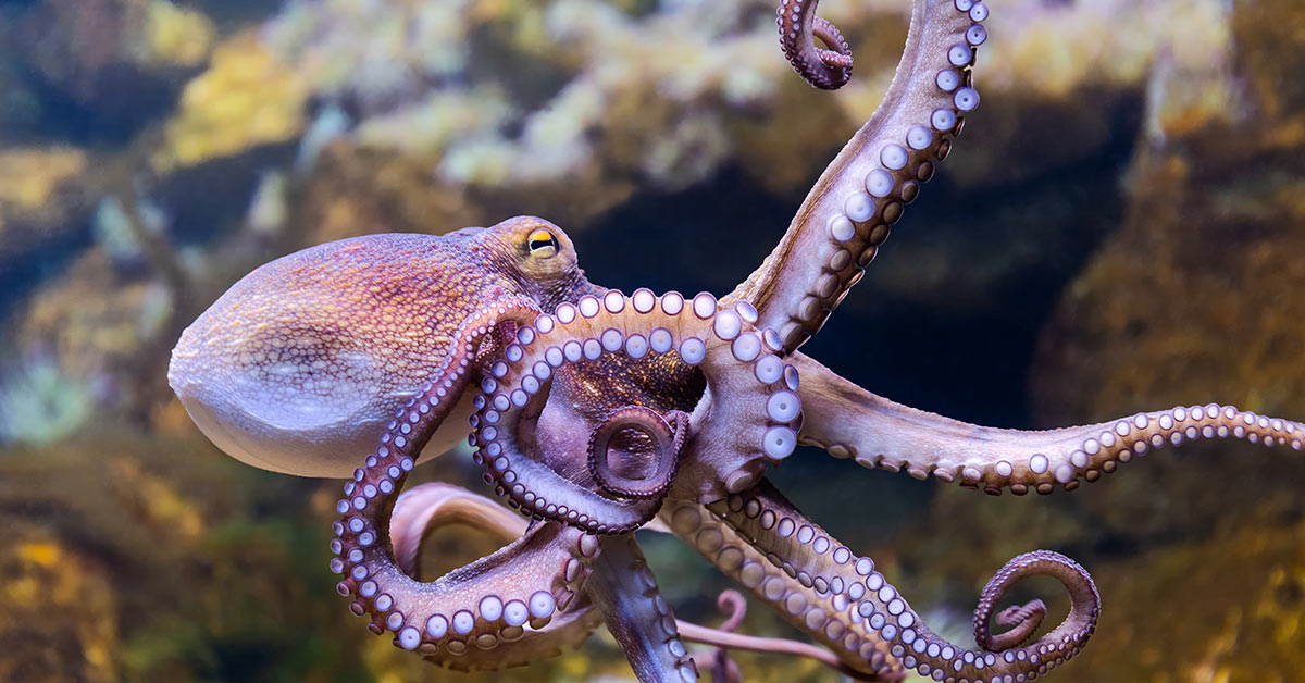 Female Octopuses Are My Heroes: They Throw Objects At Males Who Harass Them
